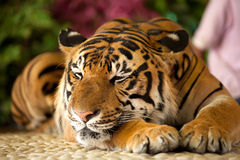 Tiger in a zoo. The red adult tiger has a rest in a zoo Stock Photo
