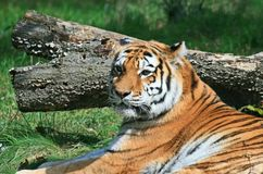 Tiger in a zoo Stock Images