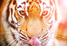 Tiger in zoo Royalty Free Stock Photos