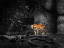 Tiger at the zoo. Beautiful tiger at a zoo. Photo was enhanced using selective desaturation Royalty Free Stock Photo