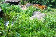 Tiger in zoo animal big cat wildlife Stock Photo