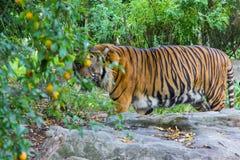 Tiger in zoo animal big cat wildlife Stock Image