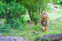 Tiger in zoo animal big cat wildlife. Tiger in zoo wildness cat predator stock images
