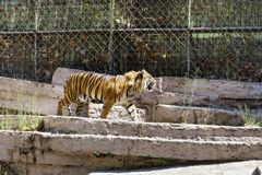 Tiger in the zoo Stock Image