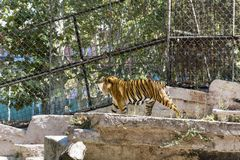 Tiger in the zoo Stock Photo