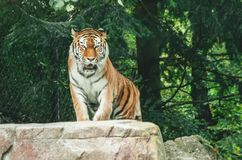 Tiger in a zoo captive. Captive Bengal striped tiger roaming in a zoo stock images