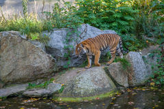 Tiger. In the zoo of Berlin Royalty Free Stock Photography