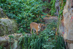 Tiger. In the zoo of Berlin Royalty Free Stock Image