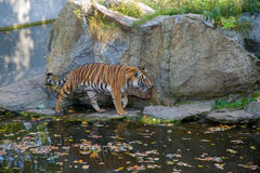Tiger. In the zoo of Berlin Stock Photography