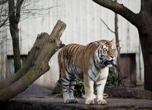 Tiger in the zoo. Big Tiger in Copenhagen zoo Stock Photos