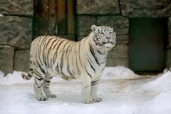 Tiger in zoo. Big tiger in zoo in winter time Stock Images