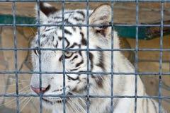 Tiger at the zoo Stock Photos