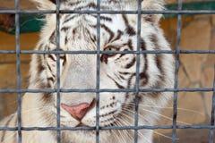 Tiger at the zoo Stock Image