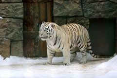 Tiger in zoo. Big tiger in winter zoo Royalty Free Stock Photo