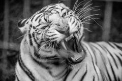 Tiger In Zoo blanc image stock
