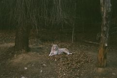 Tiger In Zoo blanc photo libre de droits