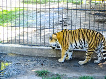 Tiger in the zoo Royalty Free Stock Photo
