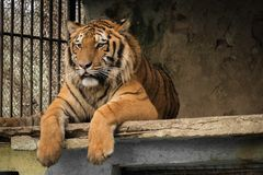 Tiger in a zoo cage. In Bulgaria resting on stone ground beautiful Royalty Free Stock Image