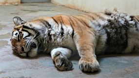 A tiger in captivity stock photo