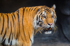 Tiger at the zoo. Stock Image