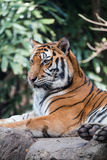 Tiger in a zoo Stock Photography