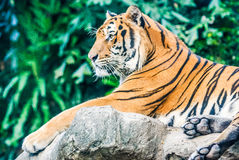 Tiger in the zoo. Tiger is a fierce animal royalty free stock images