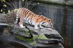 Tiger in the zoo, Germany Royalty Free Stock Image
