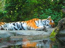 Tiger. Zoo granby canada Royalty Free Stock Images