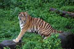 Tiger. A tiger in the zoo, only half of the tail Royalty Free Stock Photo