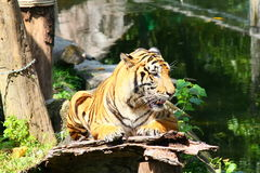 Tiger. In the zoo lonely look Royalty Free Stock Photos
