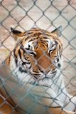Tiger in Zoo. A tiger looks out from behind a fence at a zoo Royalty Free Stock Image