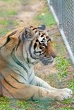 Tiger in Zoo. A tiger looks out from behind a fence at a zoo Royalty Free Stock Photos