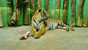 Tiger in the ZOO lying on the ground with food royalty free stock image