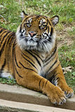 Tiger in zoo. Tiger lying in the zoo starring Royalty Free Stock Photos