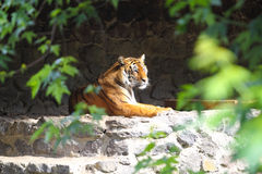 Tiger at the zoo. Majestic tiger at Kiev Zoological garden stock images