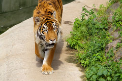 Tiger at the zoo. Majestic tiger at Kiev Zoological garden royalty free stock photography