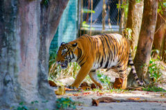 Tiger. In the zoo at malaysia Royalty Free Stock Photo