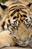 Tiger in the zoo Stock Photos