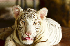 Tiger in a zoo in Park in Thailand. Tiger in Khao Kheow zoo in Chonburi, Thailand Stock Photos