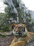 Tiger in a zoo. Protective glass on a rainy day Stock Image