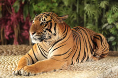 Tiger in a zoo Royalty Free Stock Photography