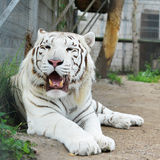 Tiger  in  zoo Royalty Free Stock Images