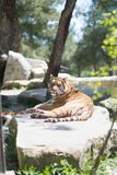 Tiger at the zoo. Resting on the grass Stock Image