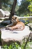 Tiger at the zoo. Resting on the grass Stock Images