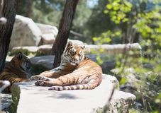 Tiger at the zoo. Resting on the grass Royalty Free Stock Photos