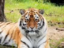 Tiger in Zoo. A tiger resting on grass in a zoo Stock Photos