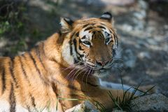 Tiger at the zoo. Resting on the grass Royalty Free Stock Photography