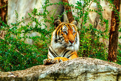 Tiger in zoo. Tiger sleep on tge rock in zoo Stock Photography