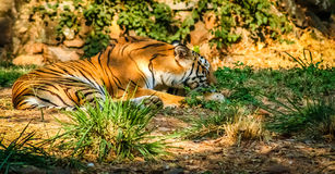 Tiger in a zoo Royalty Free Stock Image