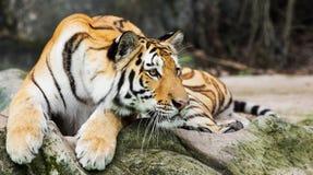 Tiger. Zoo in a Thailand Royalty Free Stock Photos
